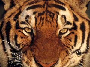 Blake tigris.jpeg